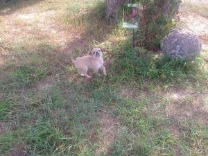 VA puppy